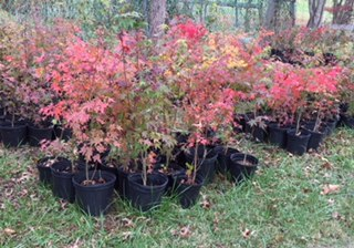 Korean Baby Maples for Purchase
